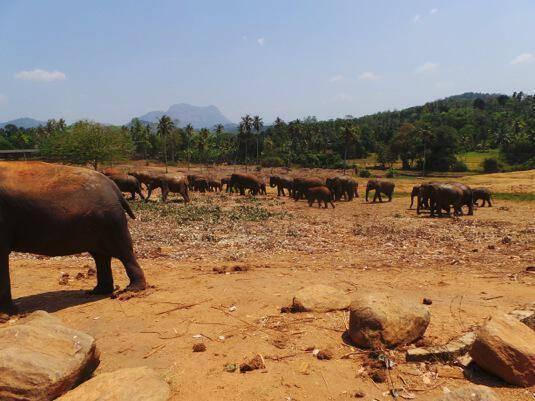 Κοπάδι ελεφάντων μέσα στο φυσικό χώρο του ορφανοτροφείου της Πιναβέλα.